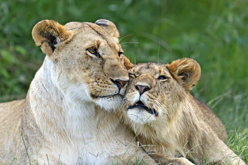 Masai Mara photos libres de droits