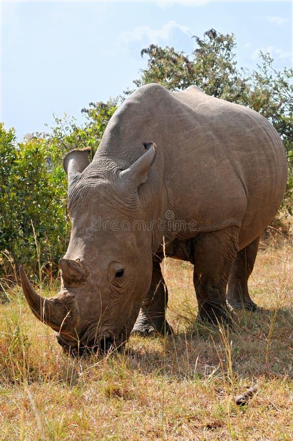 Masai Mara Black Rhinoceros lizenzfreie stockfotos