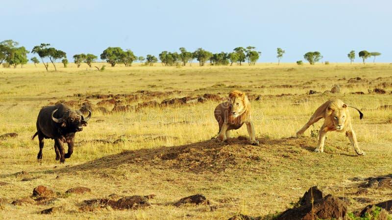 Masai Mara Cape Buffalo och lejon arkivfoton