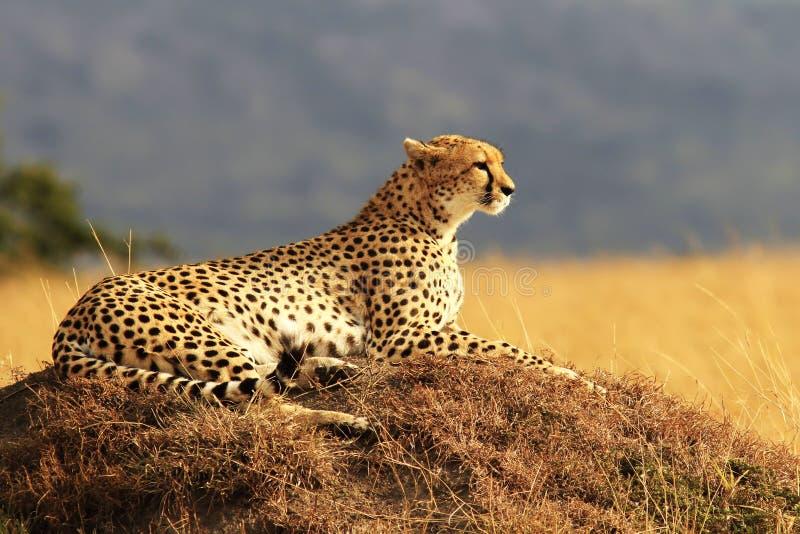 Masai Mara Cheetah. A cheetah (Acinonyx jubatus) on the Masai Mara National Reserve safari in southwestern Kenya stock images