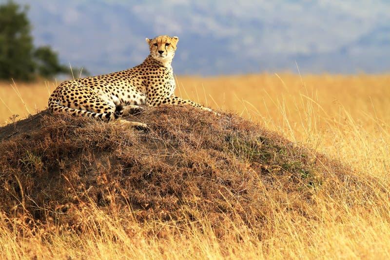 Masai Mara Cheetah royalty free stock photo