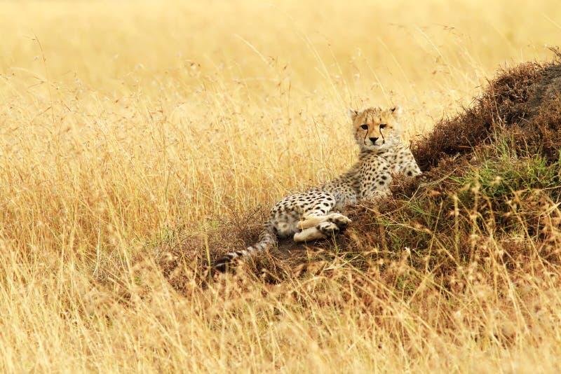 Masai Mara Cheetah Cub stock afbeeldingen