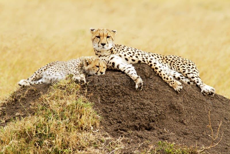 Masai Mara Cheetahs image stock