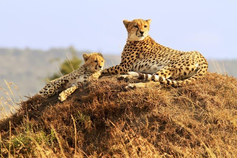 Masai Mara Cheetahs image libre de droits