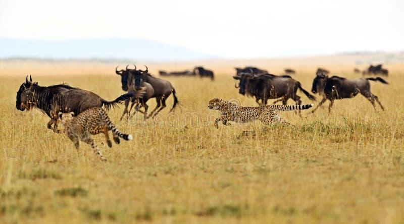 Masai Mara Cheetahs photos stock