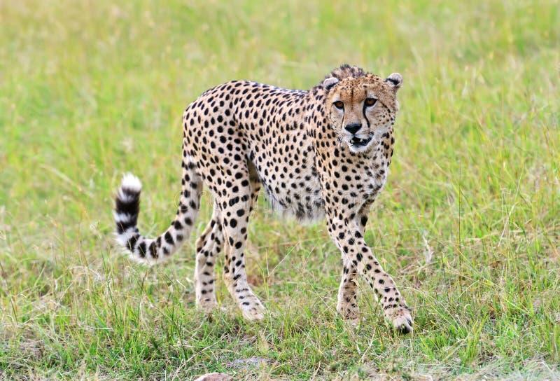 Masai Mara Cheetahs photo libre de droits