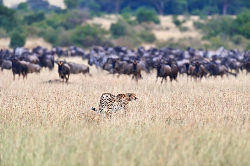 Masai Mara Cheetahs photo stock