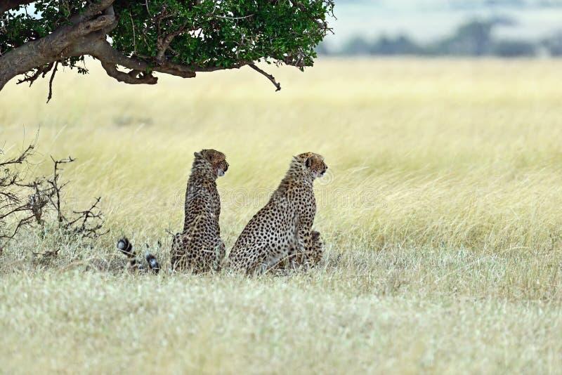 Masai Mara Cheetahs photos libres de droits