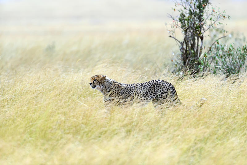 Masai Mara Cheetahs images libres de droits
