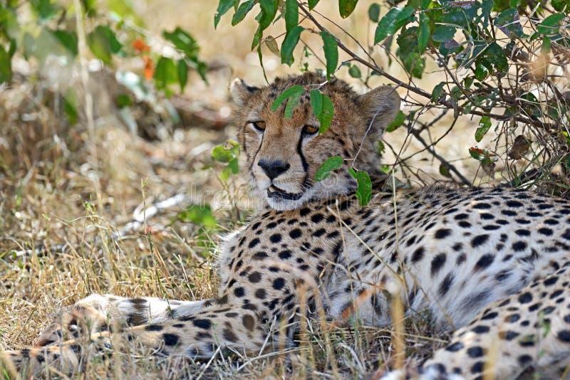 Masai Mara Cheetahs images stock