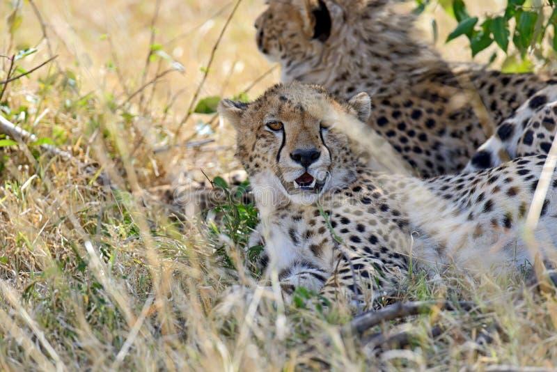 Masai Mara Cheetahs photographie stock