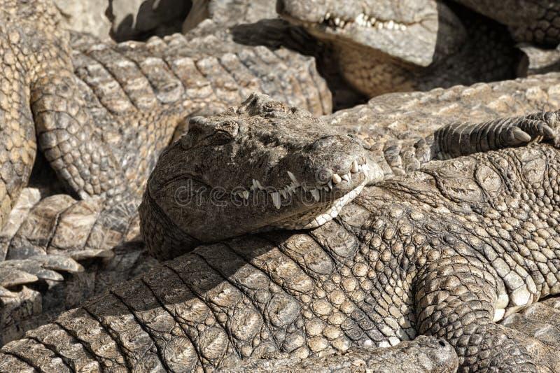 Masai Mara crocs stock foto