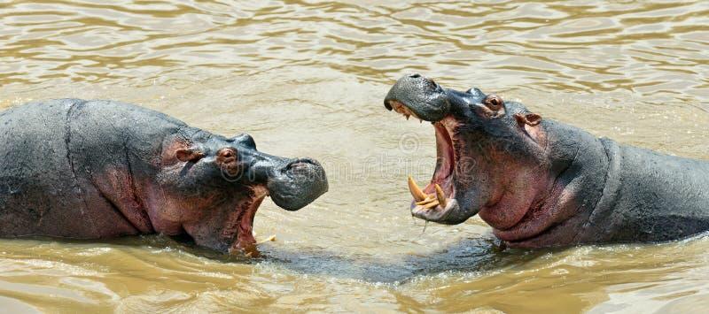 Masai Mara d'hippopotame photographie stock libre de droits