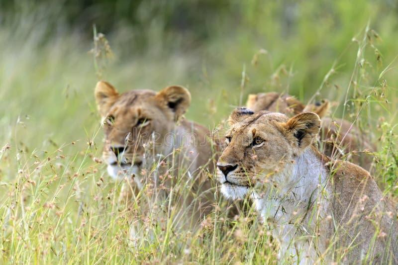 Masai Mara de lions images libres de droits