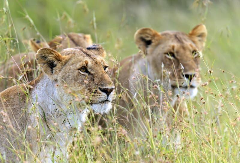 Masai Mara dos leões fotografia de stock