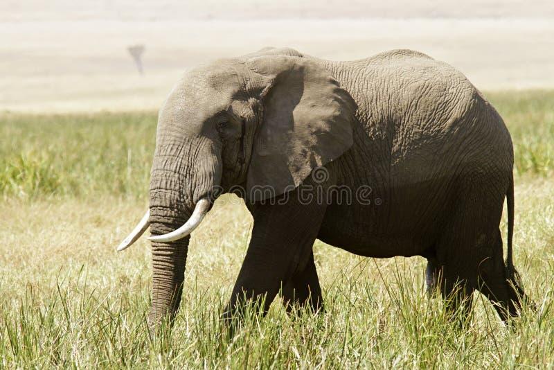 Download Masai Mara Elephant stock image. Image of pachyderm, safari - 21023941
