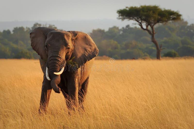 Masai Mara Elephant royalty-vrije stock fotografie