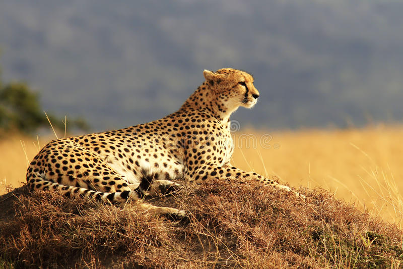 Masai Mara gepard obrazy stock