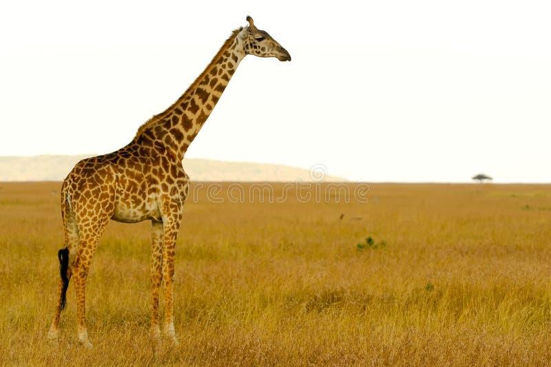 Masai Mara Giraffe lizenzfreie stockfotografie