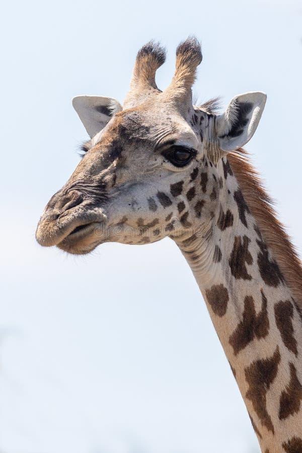 Masai Mara Giraffe, auf Safari, in Kenia, Afrika stockfoto