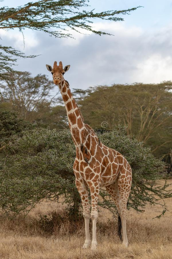 Masai Mara Giraffe, auf Safari, in Kenia stockbild