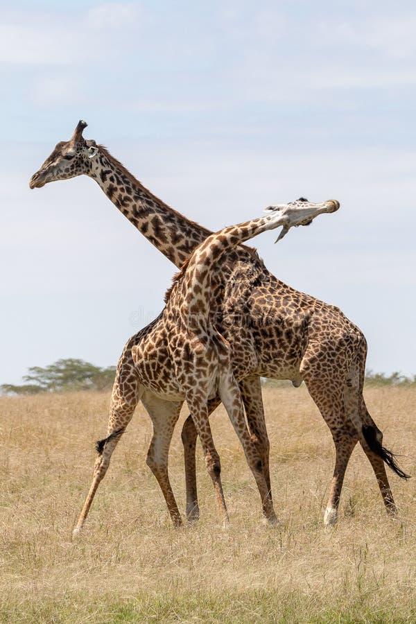 Masai Mara Giraffe, en safari, en Kenia, África imagen de archivo