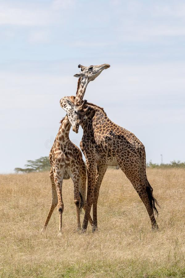 Masai Mara Giraffe, en safari, en Kenia, África foto de archivo