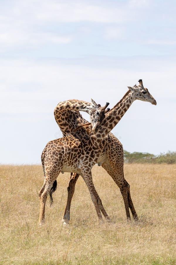Masai Mara Giraffe, op safari, in Kenia, Afrika stock afbeelding