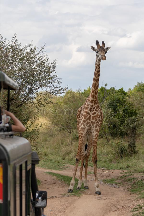 Masai Mara Giraffes, on safari, in Kenya, Africa stock photos