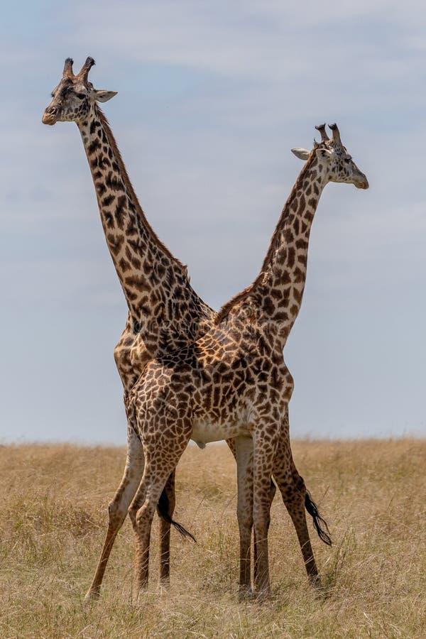 Masai Mara Giraffe, sul safari, nel Kenya fotografia stock