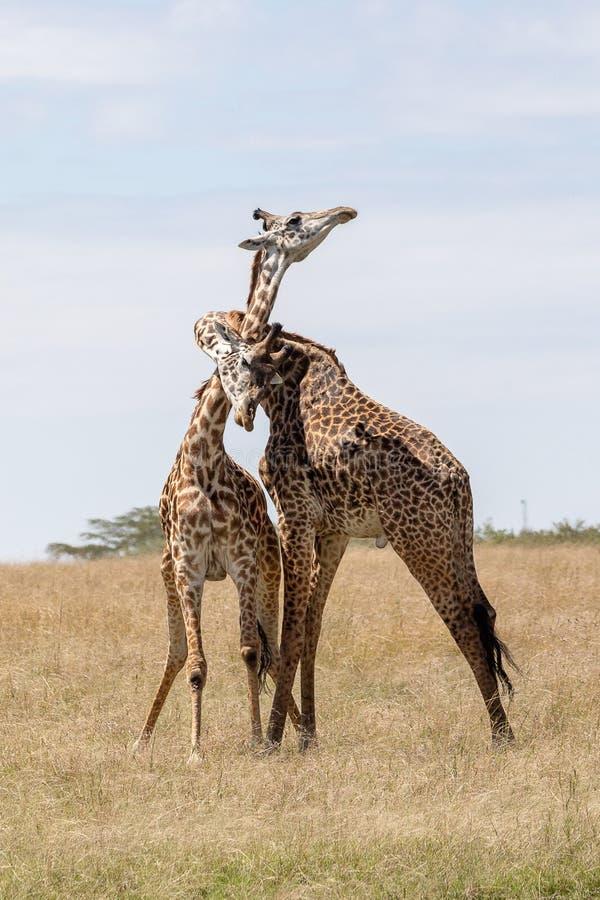 Masai Mara Giraffe, sul safari, nel Kenya, l'Africa fotografia stock