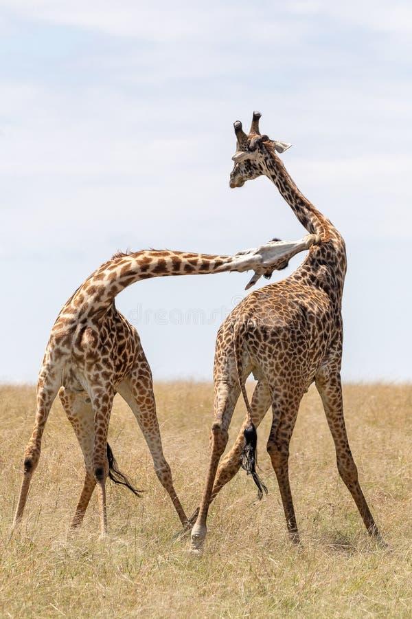 Masai Mara Giraffe, sul safari, nel Kenya, l'Africa immagine stock libera da diritti