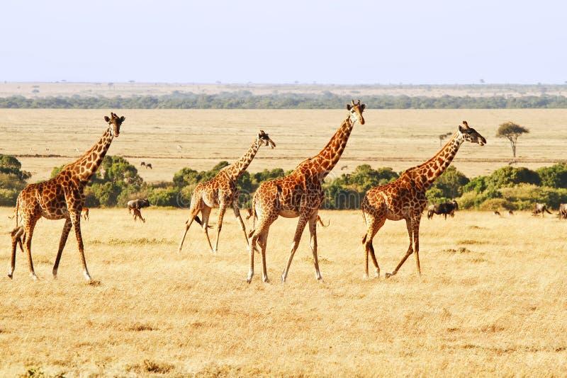 Masai Mara Giraffes foto de archivo