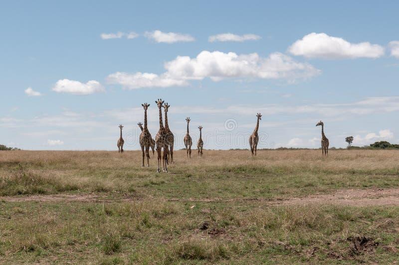 Masai Mara Giraffes, auf Safari, in Kenia, Afrika lizenzfreie stockfotos