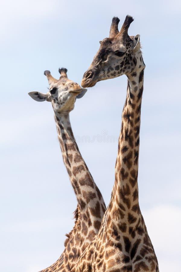 Masai Mara Giraffes, auf Safari, in Kenia, Afrika lizenzfreies stockfoto