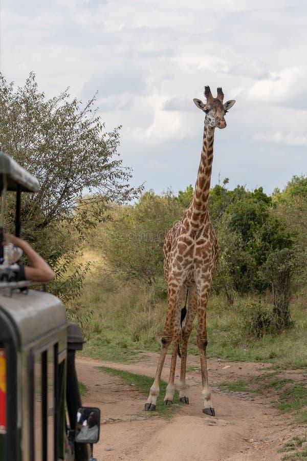 Masai Mara Giraffes, en safari, en Kenia, África fotos de archivo