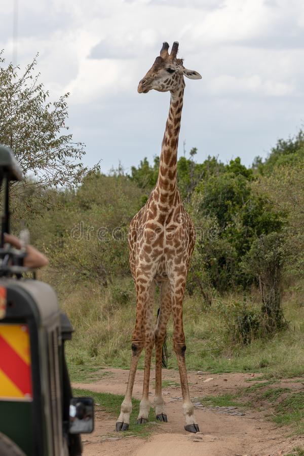 Masai Mara Giraffes, en safari, en Kenia, África imagen de archivo