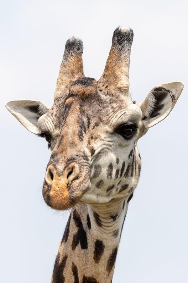 Masai Mara Giraffes, en safari, en Kenia, África imágenes de archivo libres de regalías
