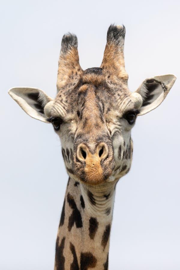 Masai Mara Giraffes, op safari, in Kenia, Afrika stock afbeelding