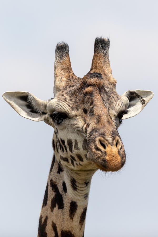 Masai Mara Giraffes, op safari, in Kenia, Afrika stock afbeeldingen