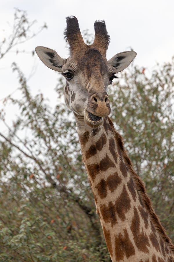 Masai Mara Giraffes, op safari, in Kenia, Afrika stock foto's