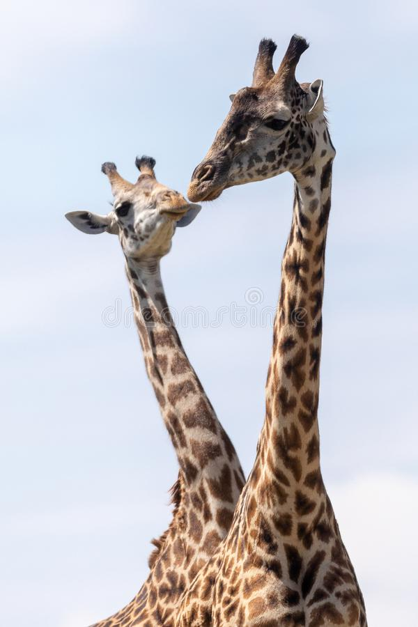 Masai Mara Giraffes, sul safari, nel Kenya, l'Africa fotografia stock libera da diritti