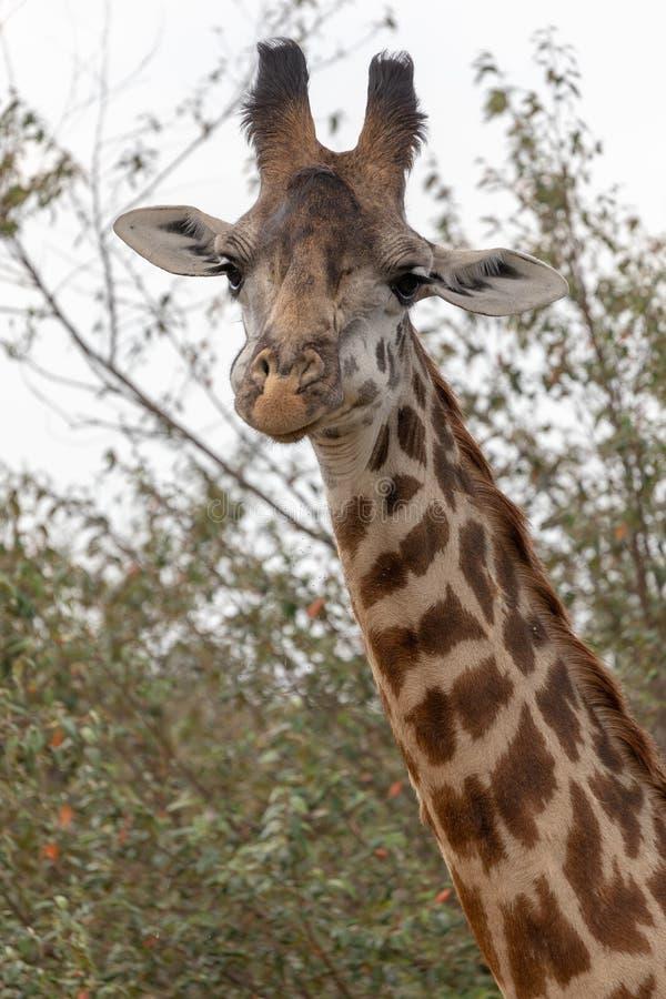 Masai Mara Giraffes, sul safari, nel Kenya, l'Africa fotografie stock libere da diritti