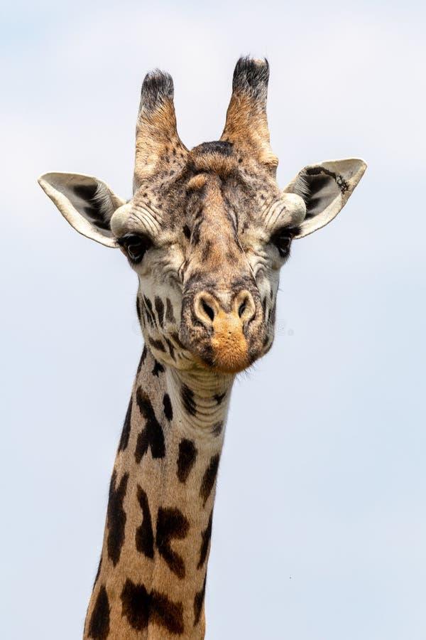 Masai Mara Giraffes, sul safari, nel Kenya, l'Africa immagini stock