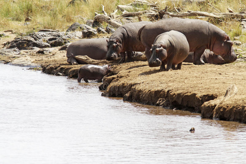 Masai Mara hipopotamy fotografia stock