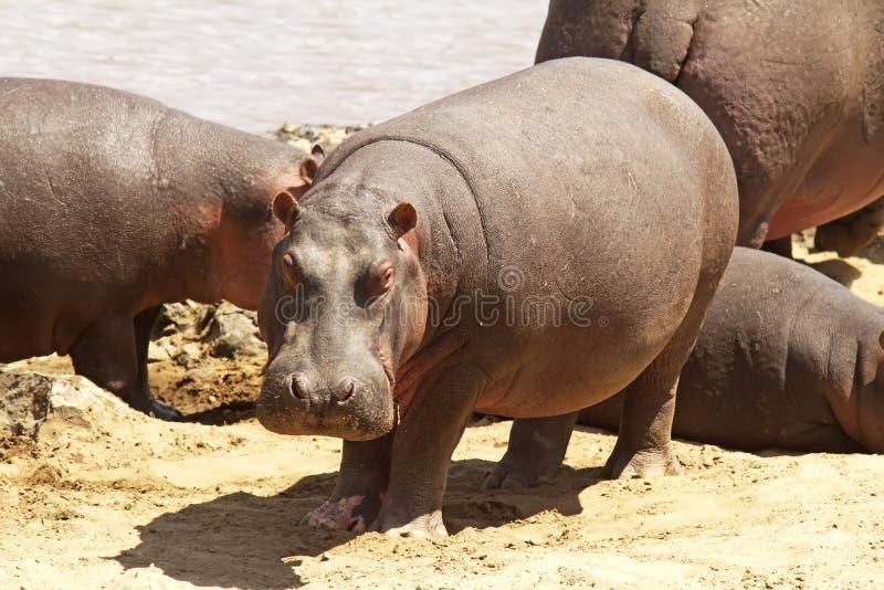 Masai Mara Hippo στοκ φωτογραφίες με δικαίωμα ελεύθερης χρήσης