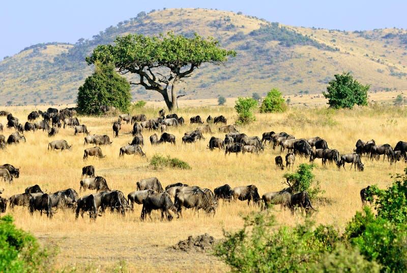 Masai Mara, Kenia stock foto's