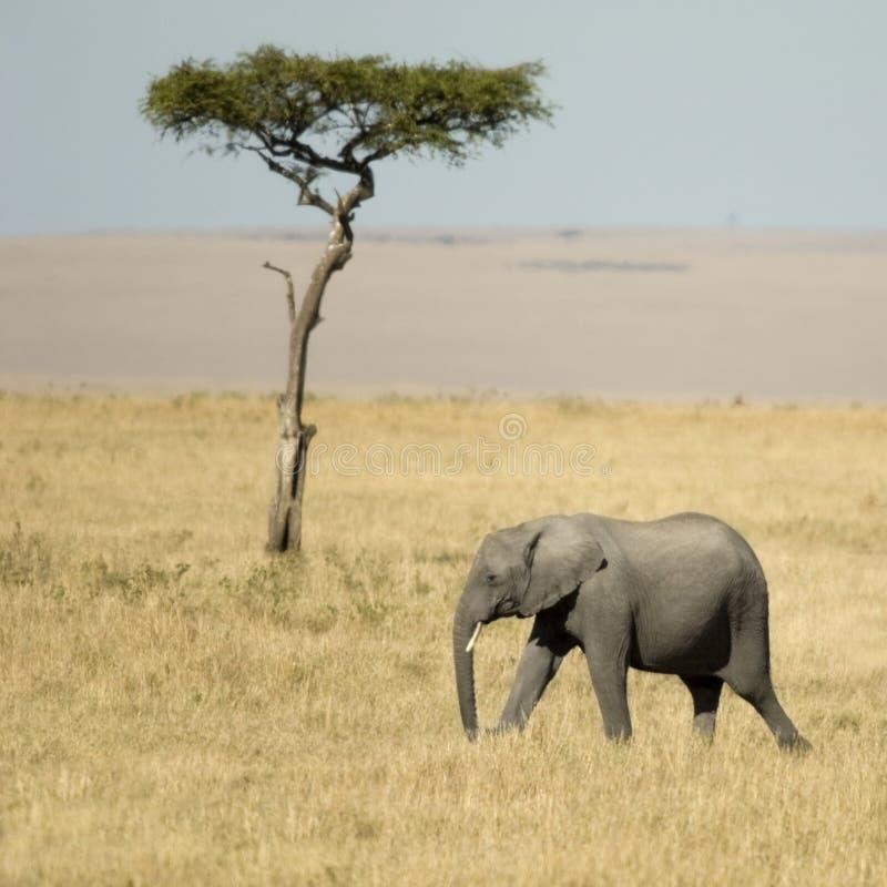 Masai Mara Kenia del elefante africano foto de archivo