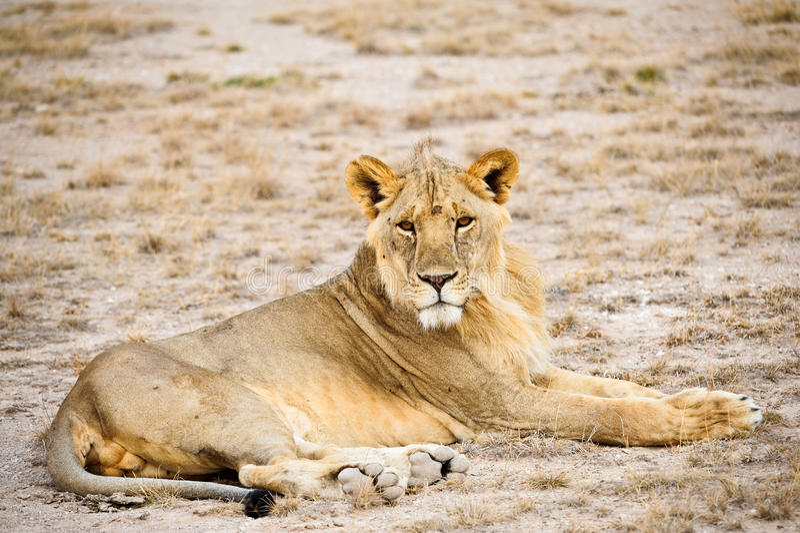 Masai Mara Kenia del leone fotografia stock