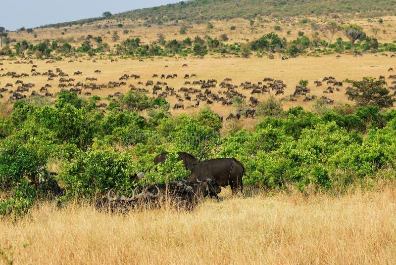 Masai Mara, Kenya, Afrique photographie stock